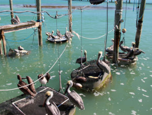 ROBBIE'S is a popular multi-attraction spot in Islamorada that offers a restaurant, feeding the tarpons, shops and more. It's also a good hang-out spot for the pelicans who frequent the area.